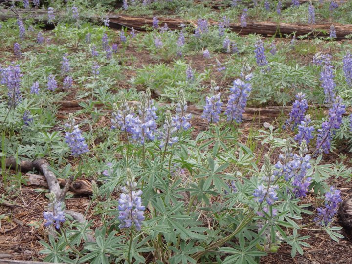 Lupine (a cousin of the Bluebonnet)