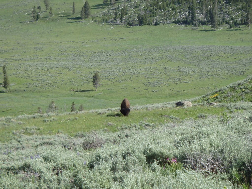 Bison off the road just for us