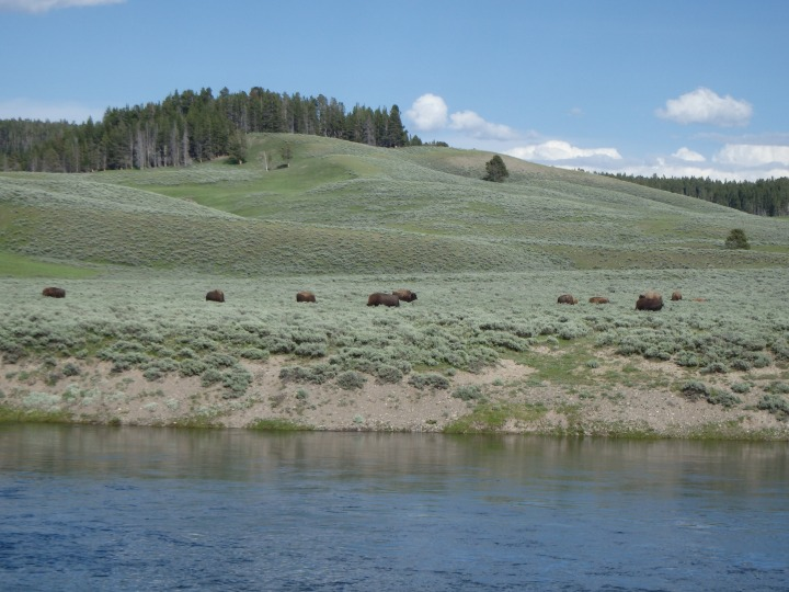 Bison herd grazing
