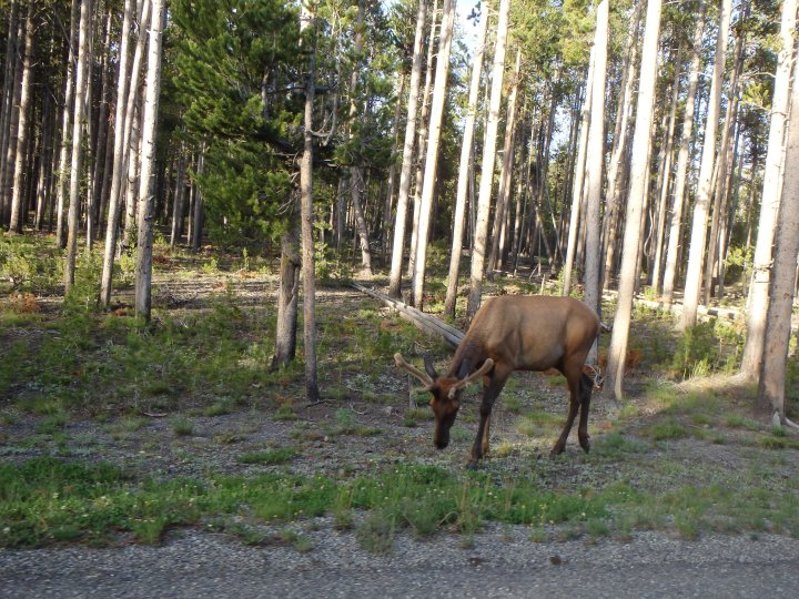 A bull elk by the road