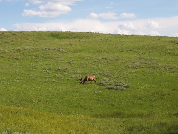 A giant bull elk