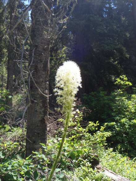 Bear grass - my favorite flower in Glacier