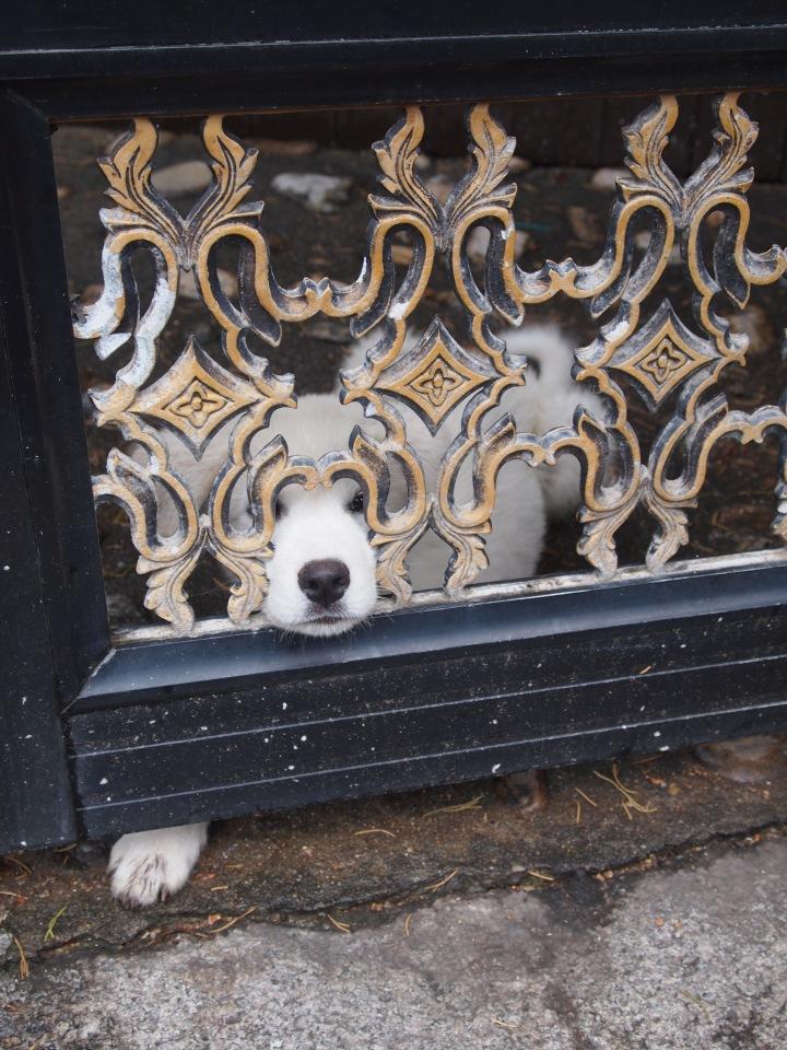Cute puppy in Bukchon