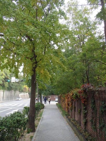 Beautiful gingko trees