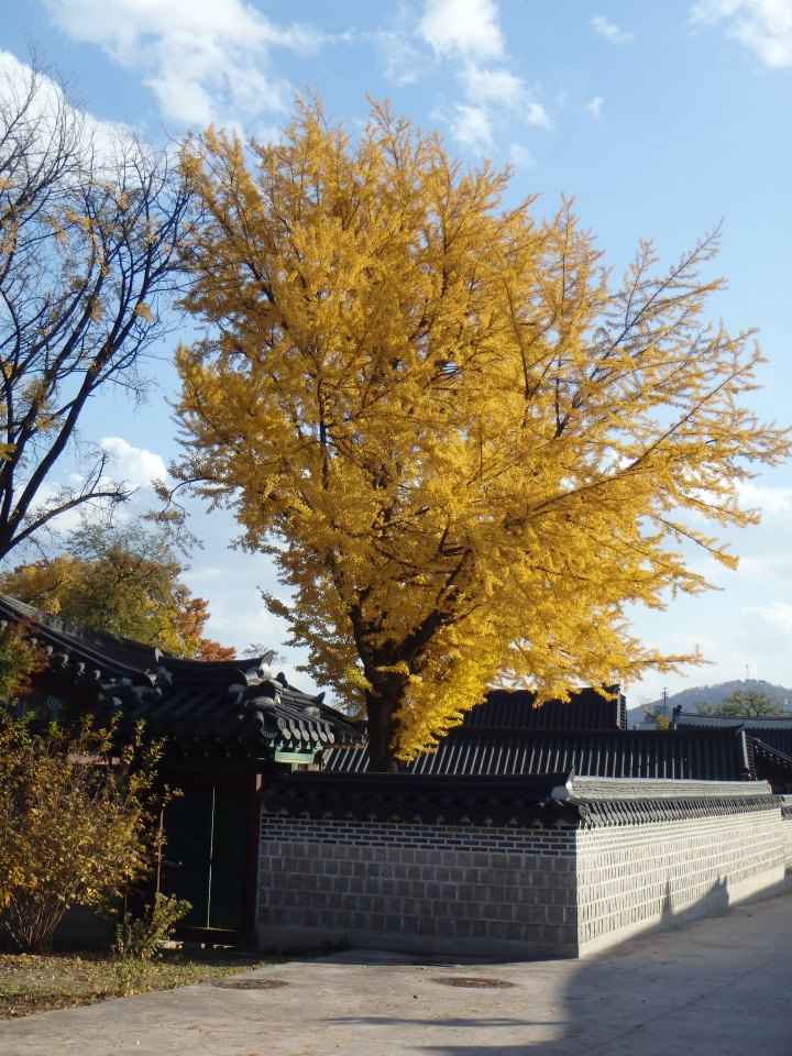 My favorite tree in Korea - gingko