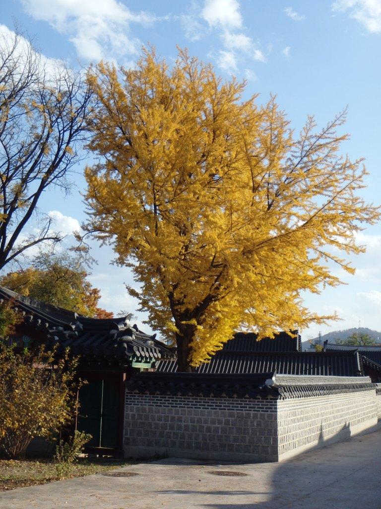 My favorite tree in Korea - gingko
