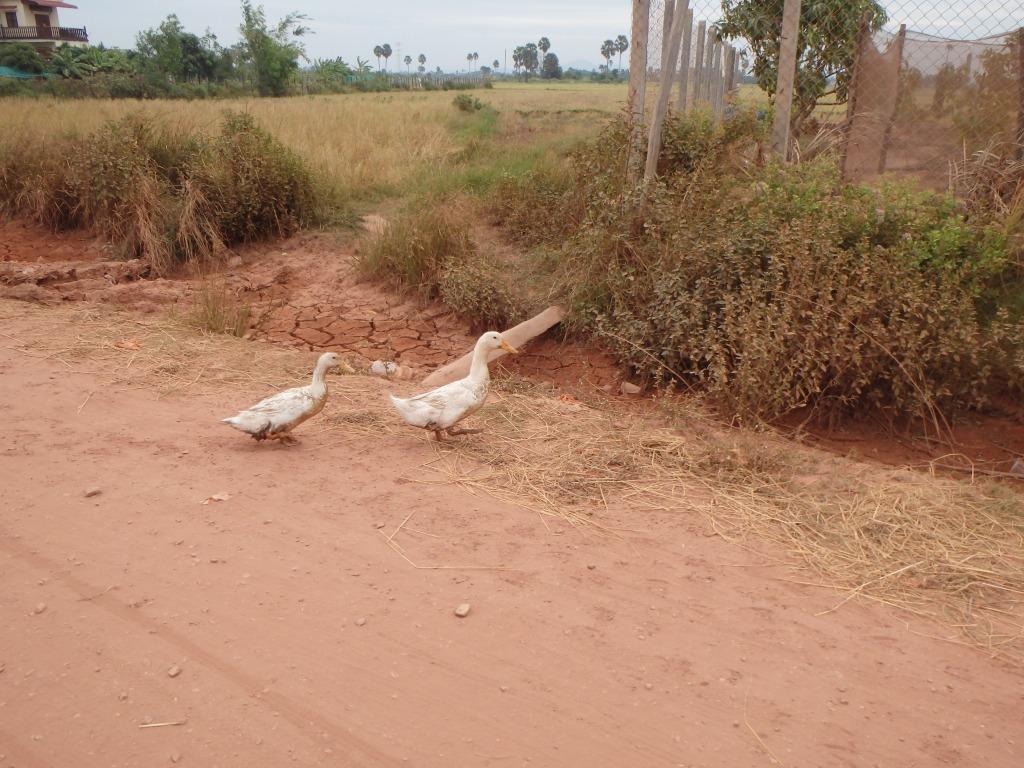 duck crossing!