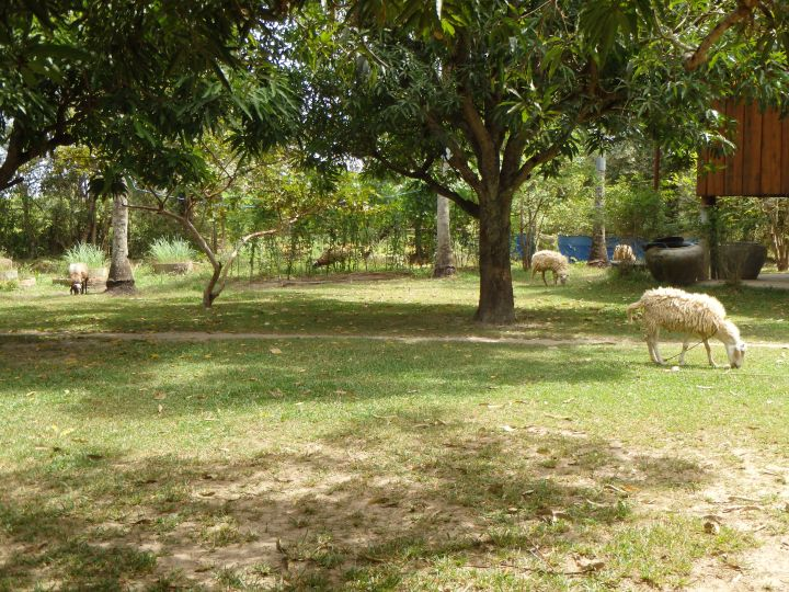 some sheep grazing near the bungalows