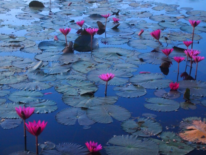 gorgeous water lilies