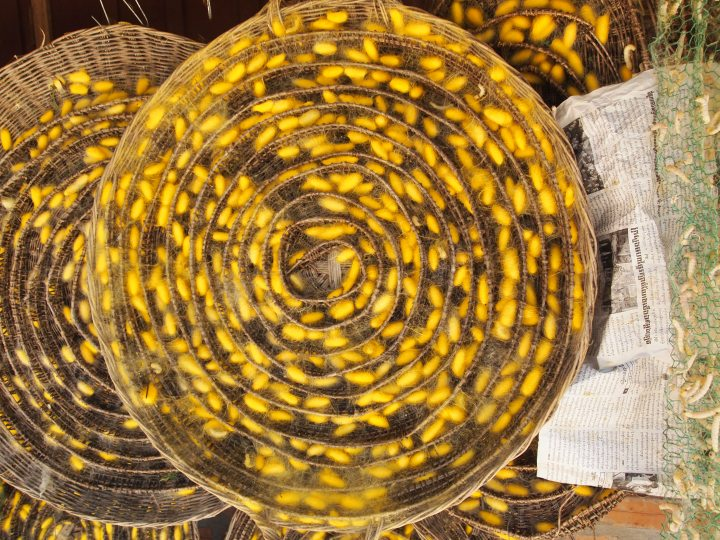The silkworm cocoons - in Cambodia the silkworms spin yellow cocoons but in Japan and China they are white