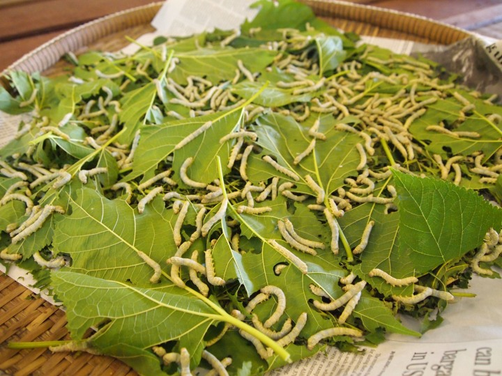 silkworms eating mulberry leaves - they eat for 24 days and then begin spinning their cocoons