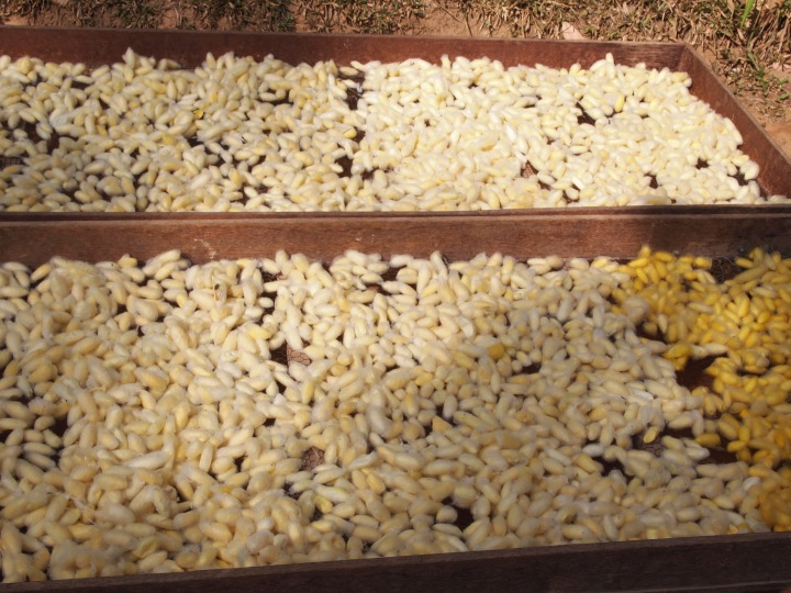 cocoons being dried and bleached by the sun - the cocoons are boiled to kill the worms so that they don't break the thread