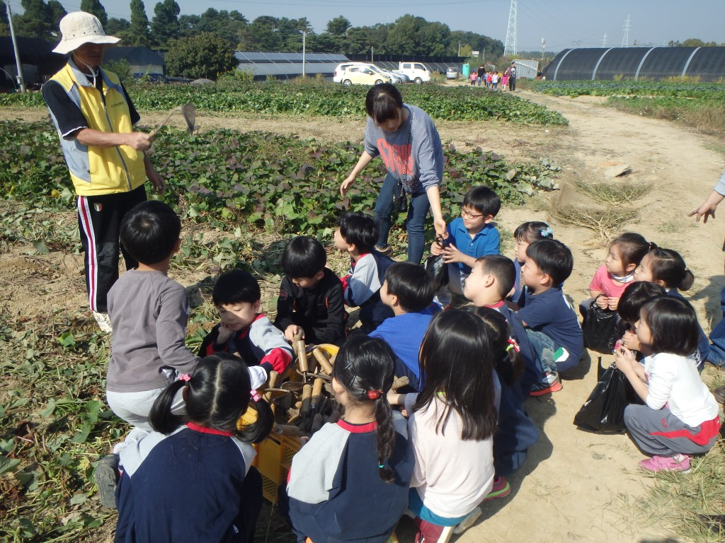 The kids learn how to dig for sweet potatoes