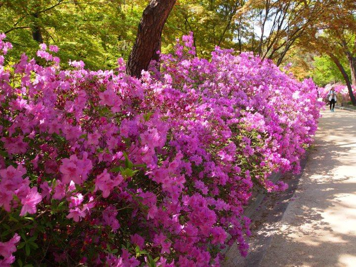 The azaleas were in full bloom