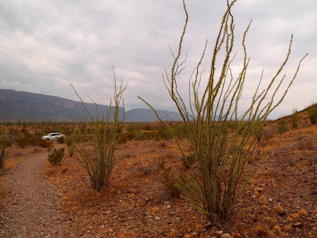 We really like the ocotillo plants