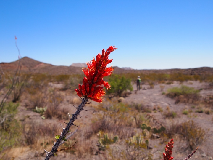 I've been waiting for ocotillo blooms to appear!