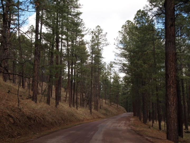 A peaceful pine-lined road