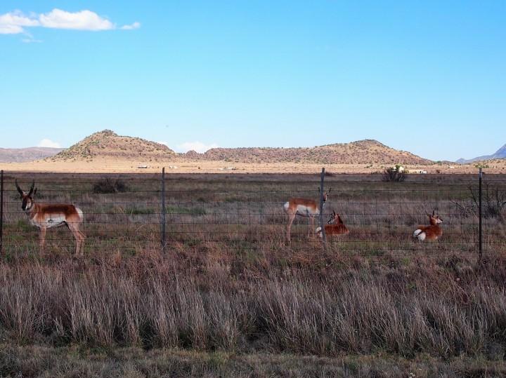 Pronghorn spotting